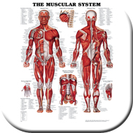 Wall Charts Exercise & Anatomy